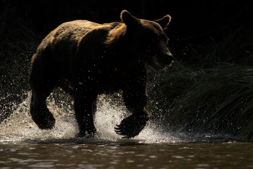 Backlit Brown Bear