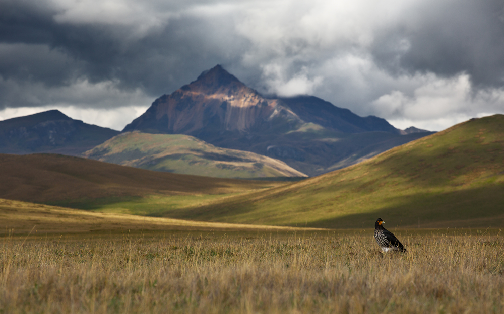 Ecuador's Mount Sincholagua stands tall at 4,873m as a Carunculated Caracara (Phalcoboenus carunculatus) forages in the páramo grasslands below.