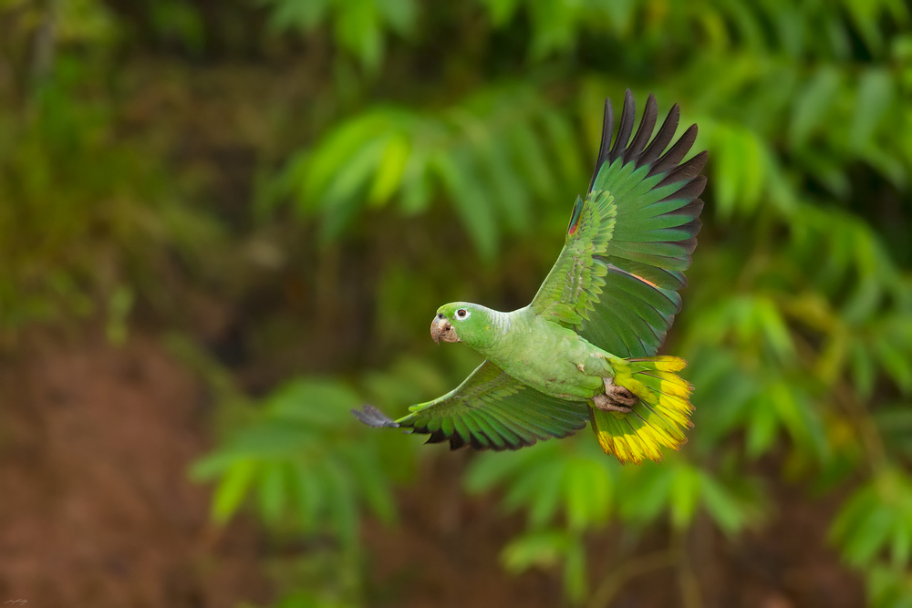 A Mealy Parrot (Amazona farisona) in flight. Amazon Rainforest, Ecuador.