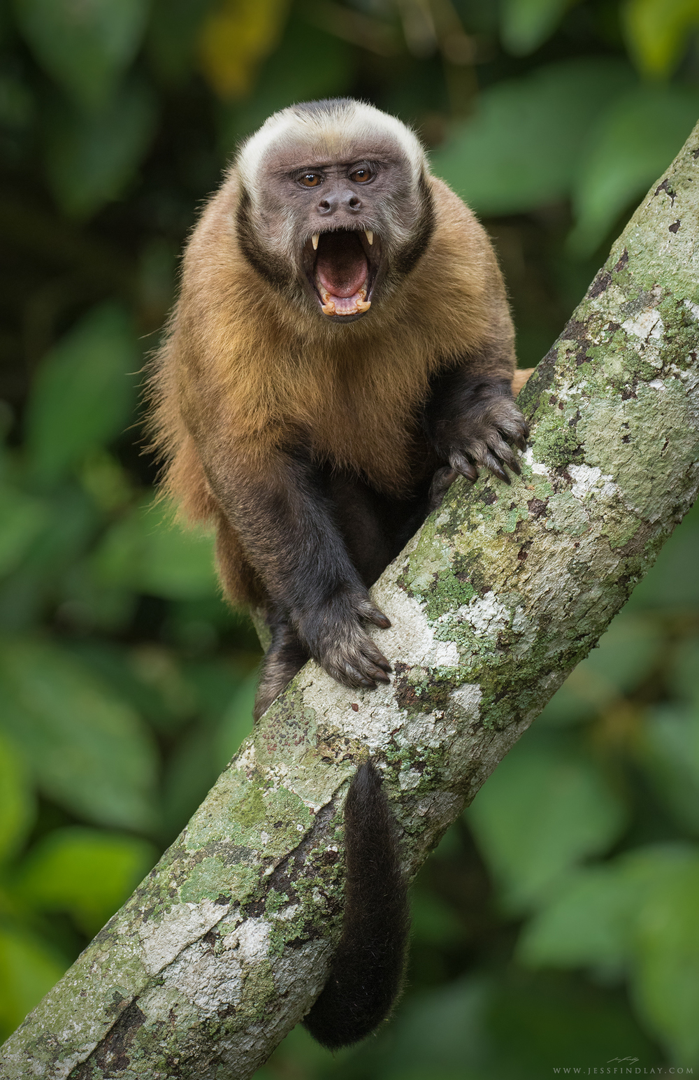 A Tufted Capuchin shows off its impressive canine teeth.