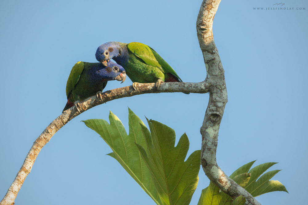 A pair of Blue-headed Parrots allopreening in the morning sun.