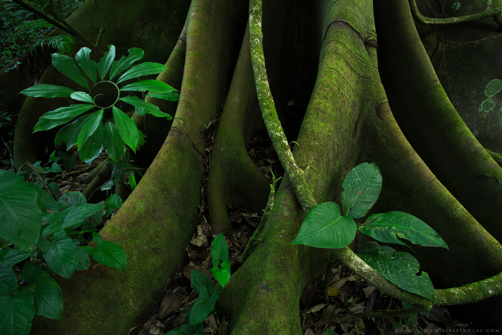 Roots, vines -understory designs.