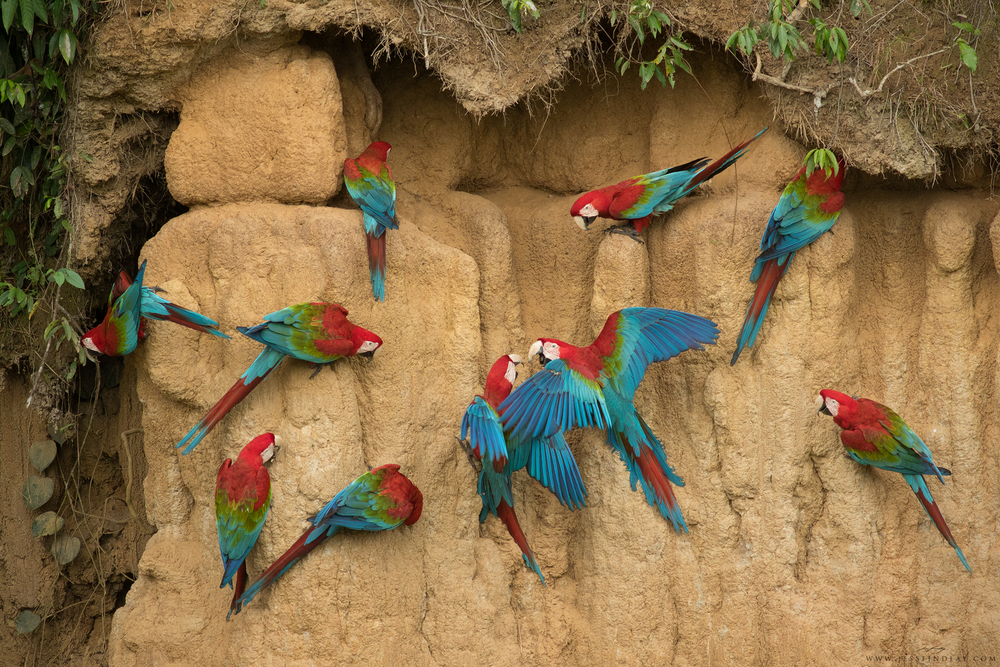 A group of Red-and-Green Macaws feed on mineral-rich clay to aid in the digestion of toxic seeds and fruit.