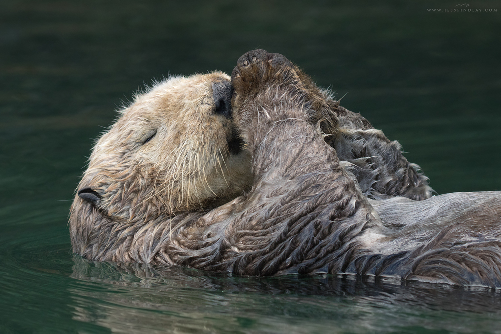 Sea Otter Kenai Peninsula, Alaska, USA Tired from an hour or so of meticulously cleaning her coat, a female Sea Otter rests, afloat on her back in a secluded cove along the Kenai Peninsula of Alaska. Having little to no fat reserves, it's critical that Sea Otters keep their fur in good condition in order for them to stay waterproof and insulated from the chill of the North Pacific.