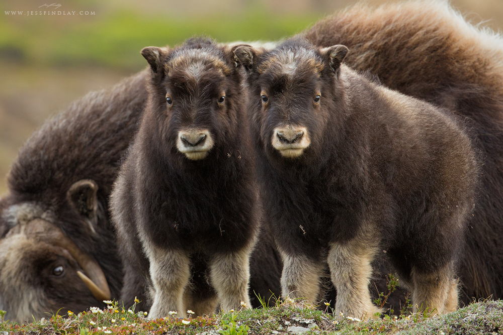 Muskox Calves Seward Peninsula, Alaska, USA  Alaska's Seward Peninsula is located just south of the Arctic Circle, a remnant of the Bering land bridge. A trip here in early June to photograph tundra nesting birds was a fantastic experience. Upon closer inspection, the seemingly stark landscape is vibrant and filled with life. In addition to the unique birds, the opportunity to photograph Muskox was a big highlight for me. Two youngsters investigate me while their mother grazes nearby.