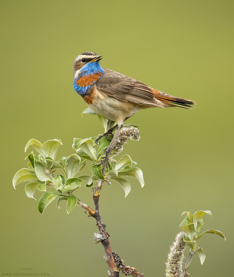 Bluethroat Seward Peninsula, Alaska, USA One of the most sought after Alaskan birds - the Bluethroat. This subspecies of gorgeous songbird winters in Southeast Asia; migrating northward, crossing the Bering Sea to reach its breeding grounds in river valleys in the state's far north. Despite their bright colours, locating these guys can be challenging. First, myself and Glenn Bartley listened for their songs and scanned the sky above their preferred habitat of large swaths of dense willows shrubs where they make display flights. After tracking down this male, we observed for quite some time in order to determine his favourite singing perches. Using camouflage blinds as not to disturb him, we set up nearby and were able to get some closeup shots. Seward Peninsula, Alaska.