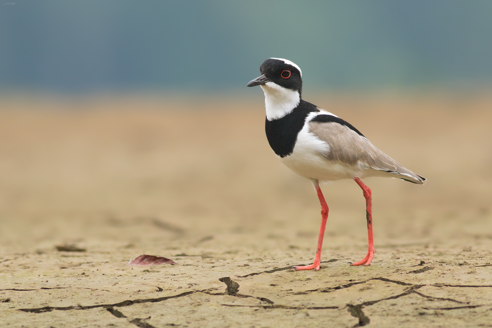 A Pied Plover pauses momentarily on the bank of the Napo River in the Ecuadorian Amazon.