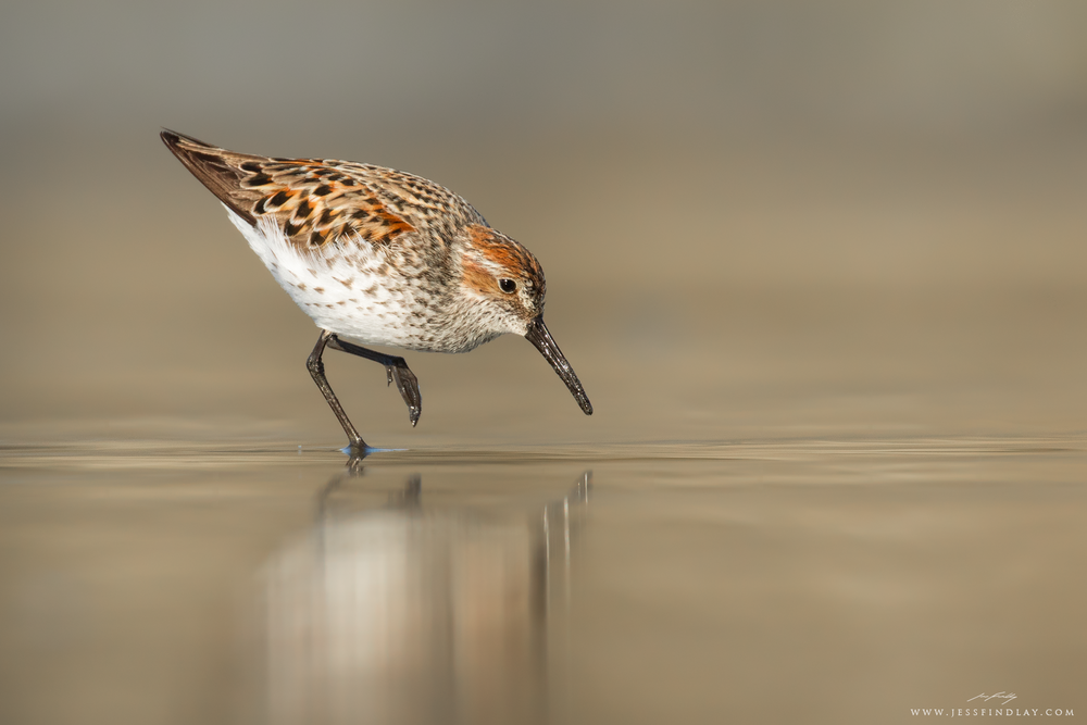 Reflected in the wet sand of a beach in Pacific Rim National Park, British Columbia, a Western Sandpiper forages during its northbound spring migration.