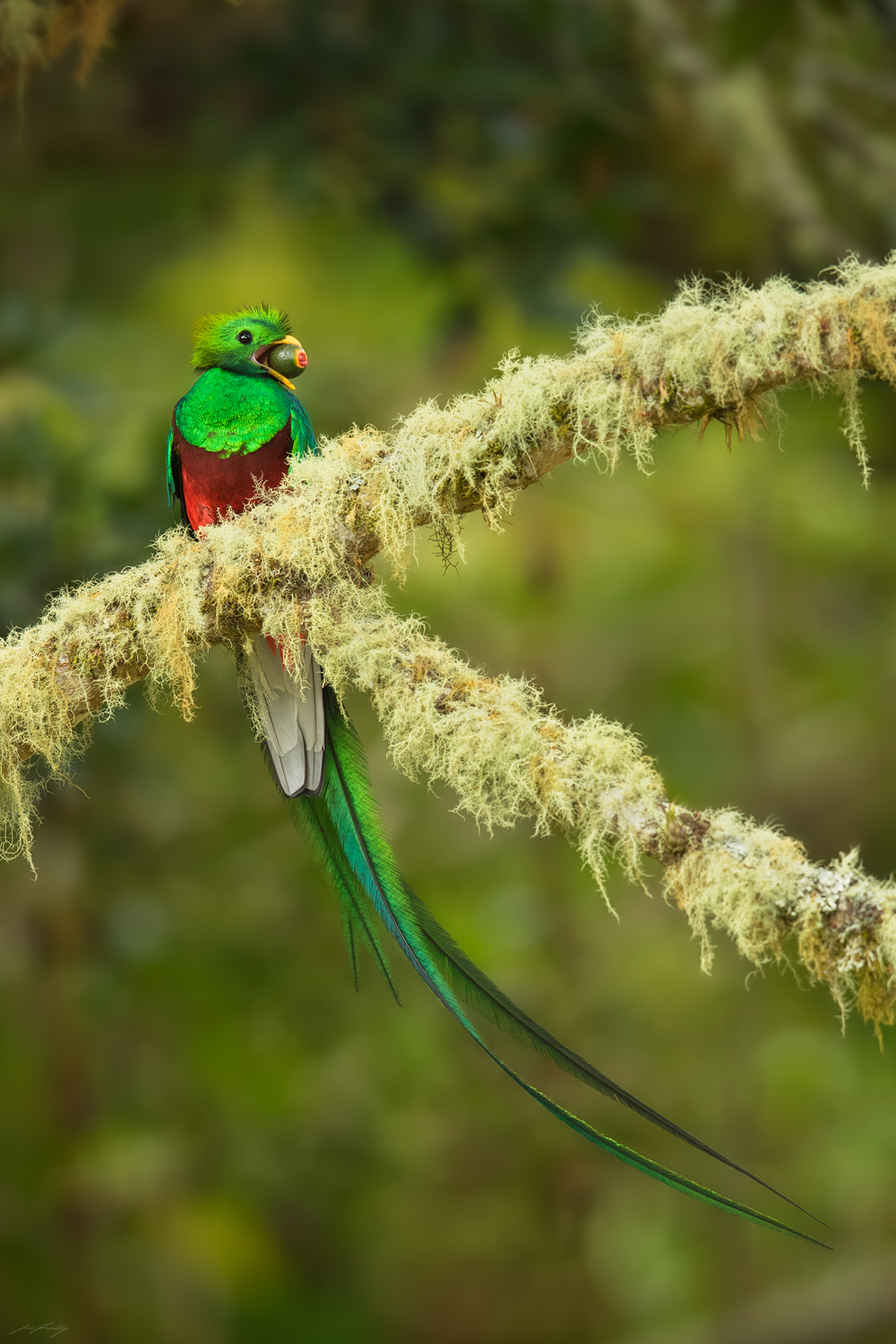 A male Resplendent Quetzal with an aguacatillo fruit. Photographed in the Talamanca Mountains of Costa Rica.