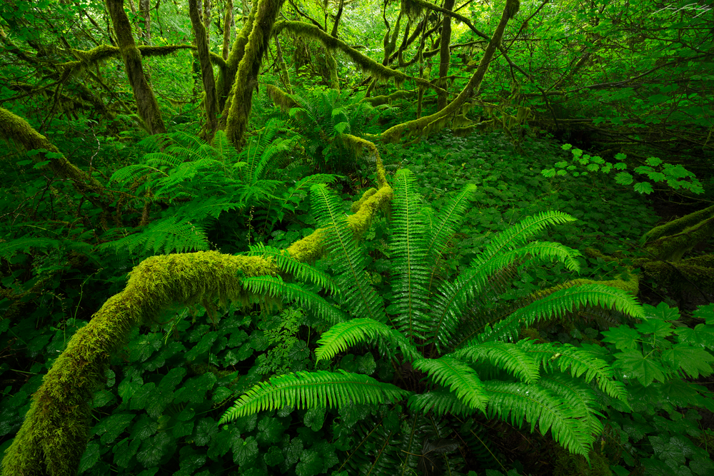 Sword ferns and vine maples at the height of spring in the temperate rainforest of southwestern British Columbia, Canada.