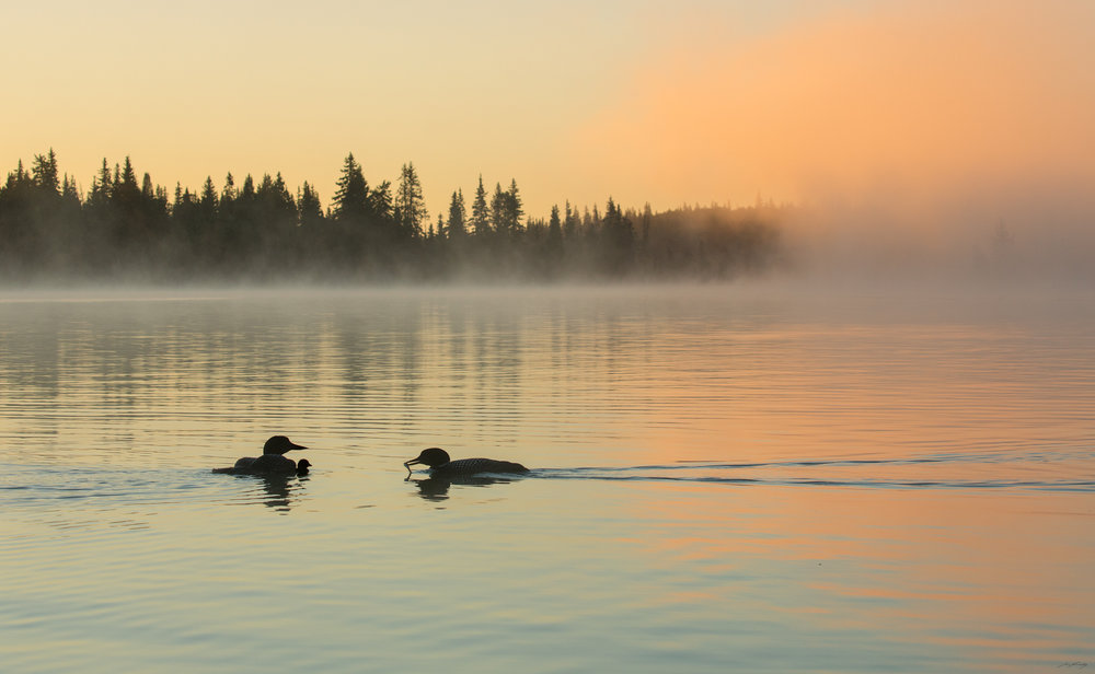 Just before the morning sun crests the horizon, a family of Common Loons (Gavia immer) are silhouetted against the placid waters of a lake in British Columbia's interior plateau.