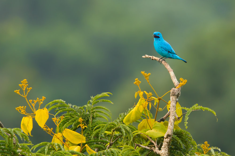Plum-throated Cotinga, Ecuador