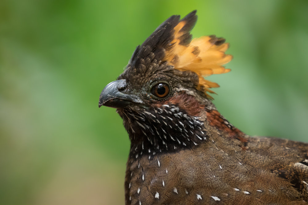 Spotted Wood-Quail, Costa Rica