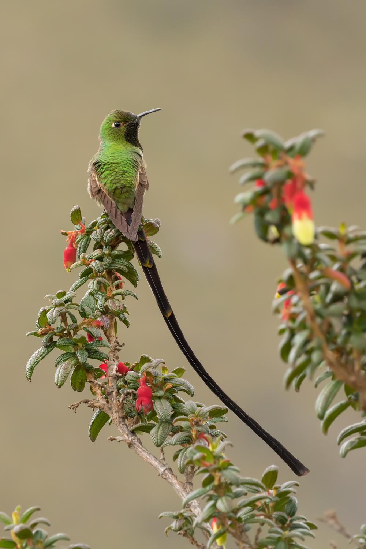 Black-tailed Trainbearer, Ecuador