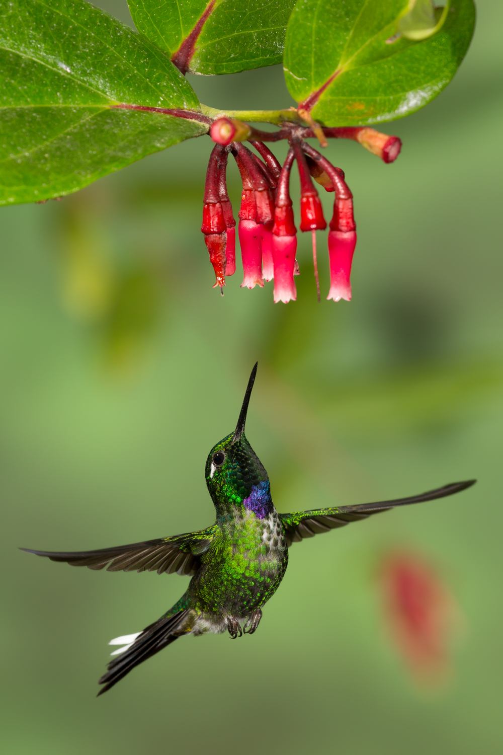 Purple-bibbed Whitetip, Ecuador