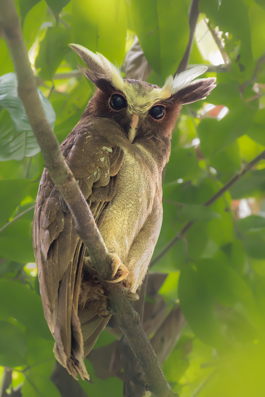 Crested Owl, Ecuador
