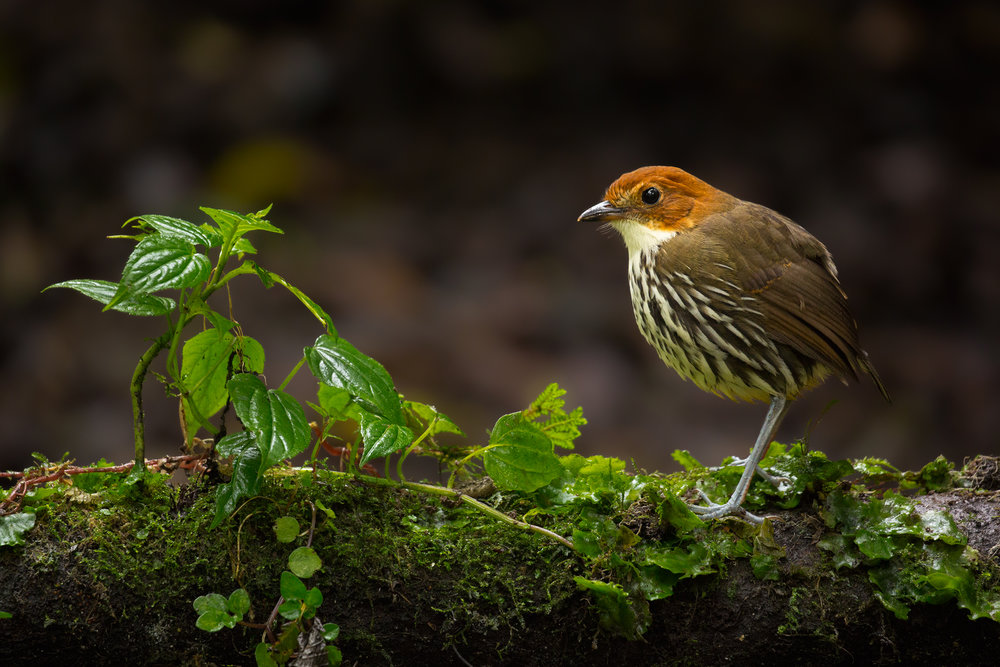 Chestnut-crowned Antpitta, Ecuador