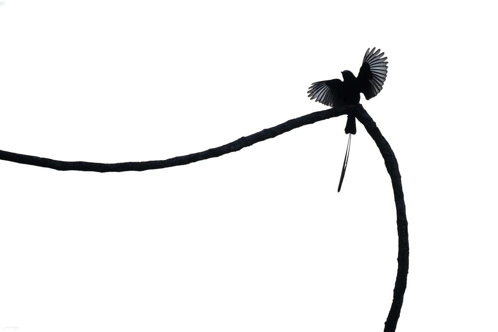 Long-tailed Tyrant, Peru