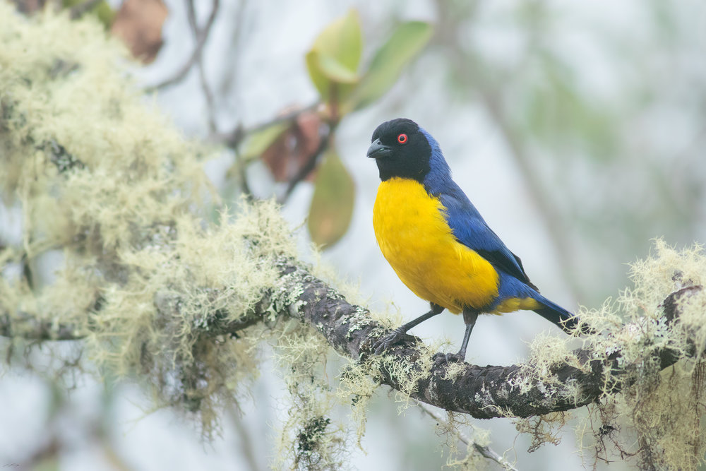 Hooded Mountain Tanager, Peru
