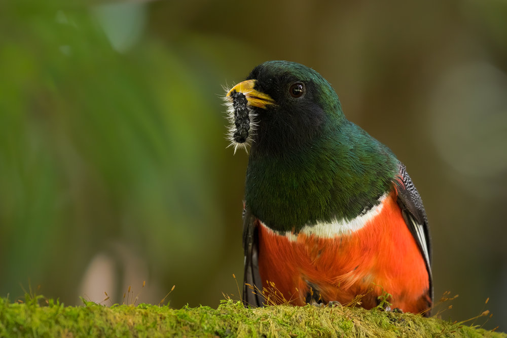 Orange-bellied Trogon, Costa Rica