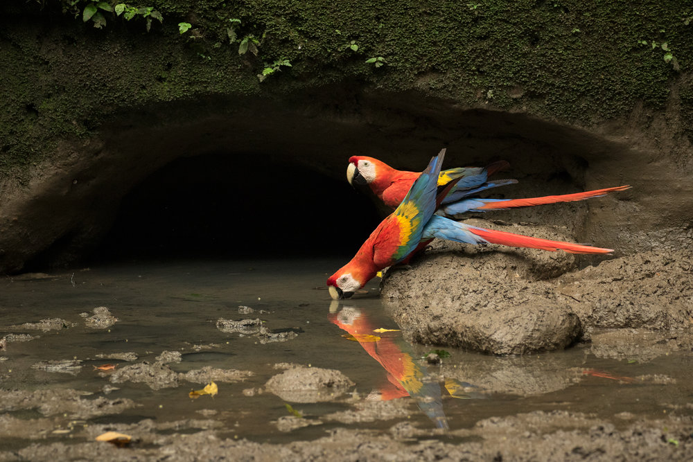 Scarlet Macaws, Ecuador