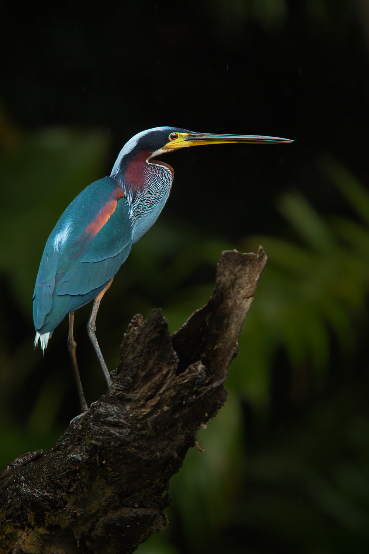 Agami Heron, Ecuador