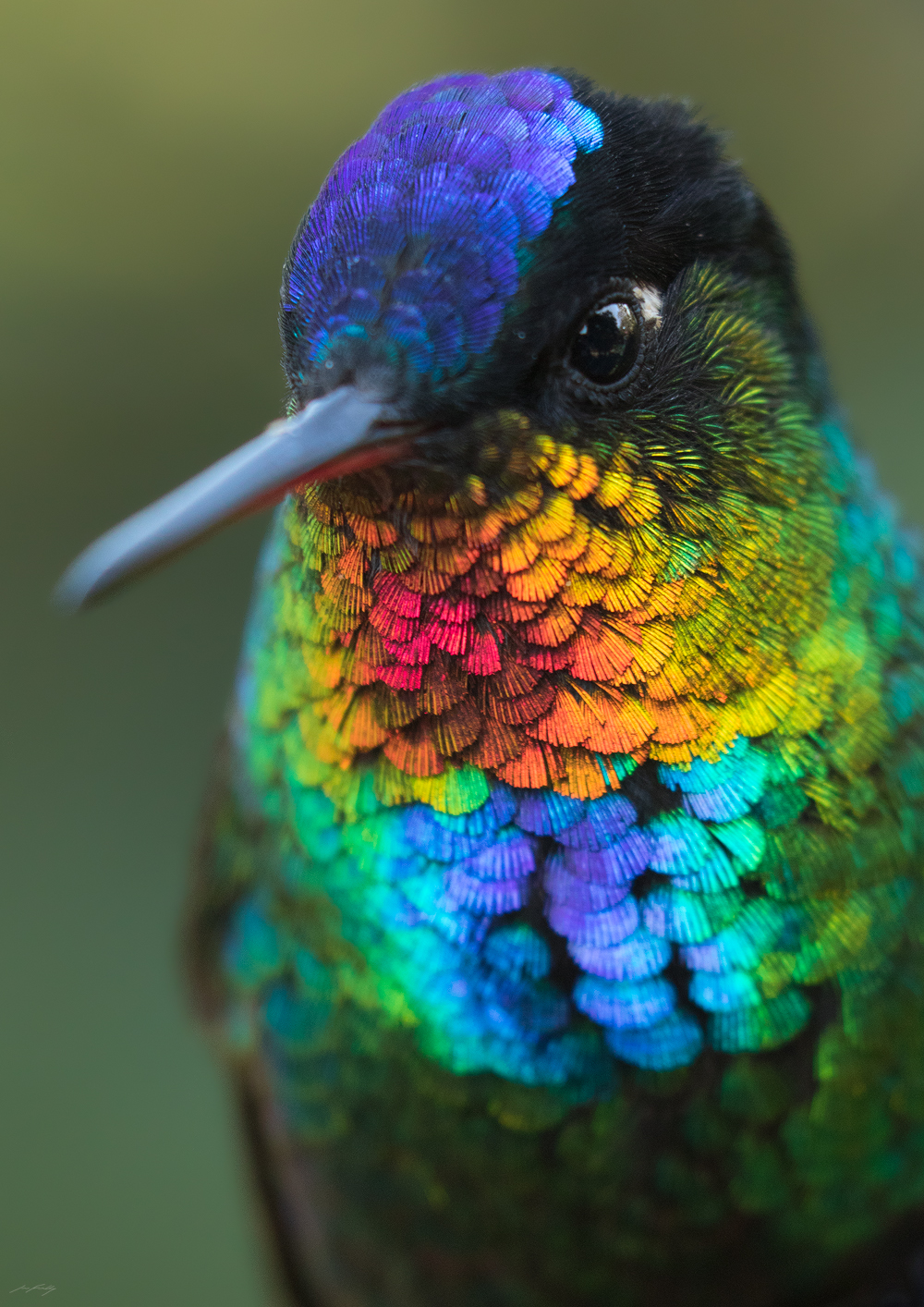 "Few other birds rival the incredible iridescent colour displayed by this Fiery-throated Hummingbird (Panterpe insignis) - a species endemic to the high mountains of Costa Rica and western Panama. Photographed in the wild with a telephoto lens and ""extension tubes"" to allow extremely close focus."