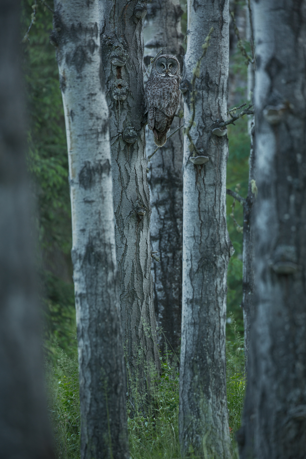 Hidden within her aspen domain, a female Great Grey Owl awaits the return of her mate as dusk sets in over the forest.