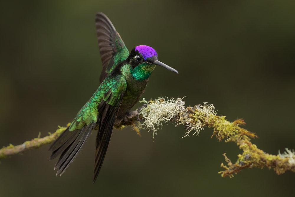 Talamanca Hummingbird, Costa Rica