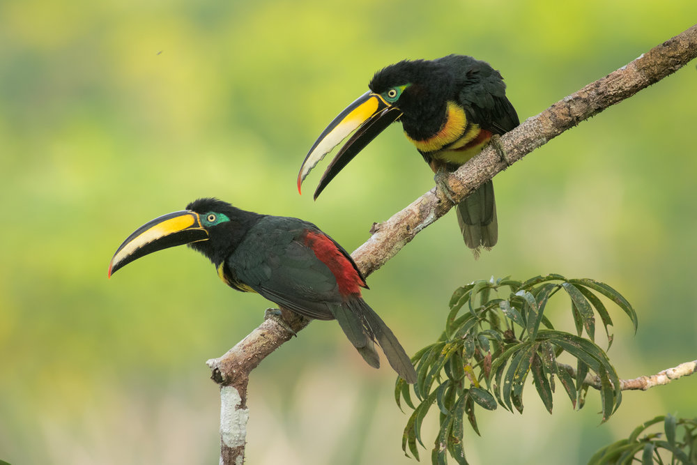 Many-banded Aracaris, Ecuador