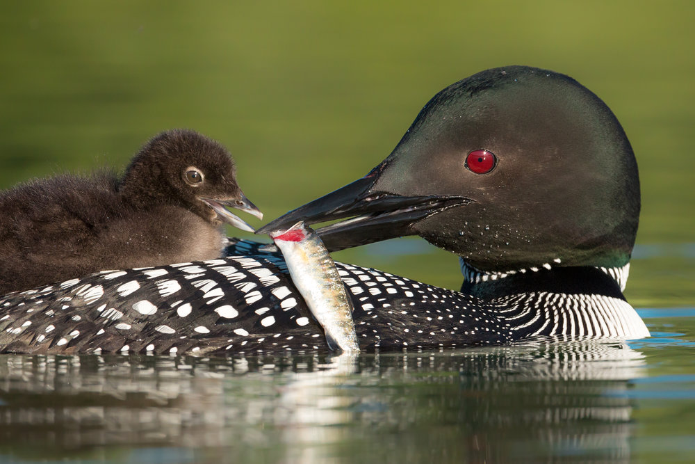 Common Loon Feeding Chick, British Columbia, Canada