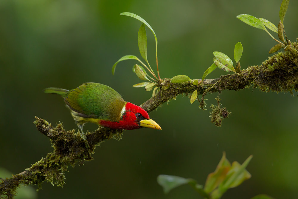 Red-headed Barbet, Ecuador