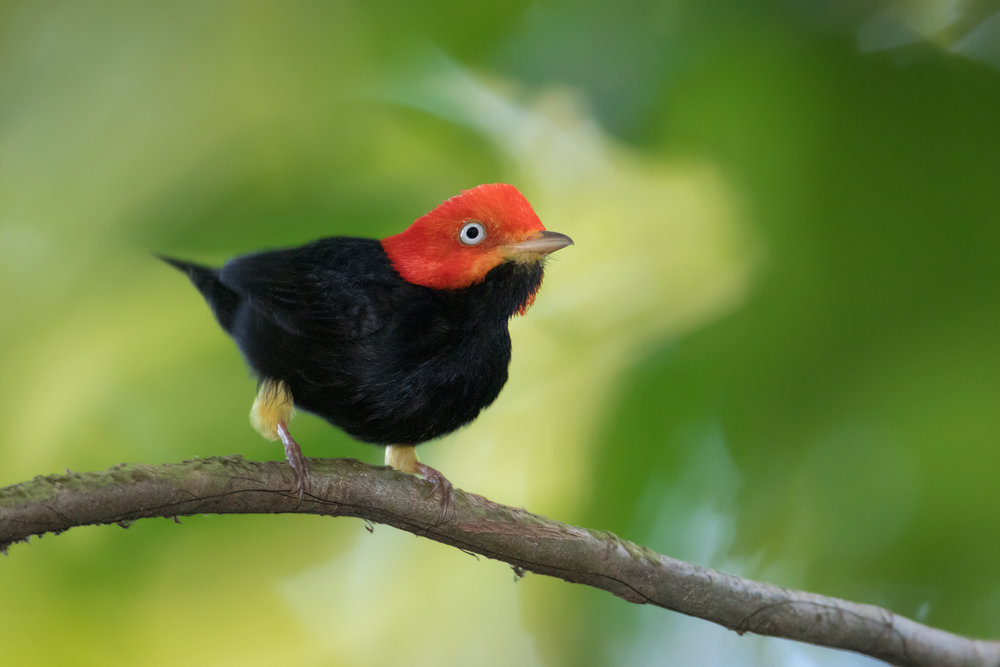 Red-capped Manakin, Costa Rica