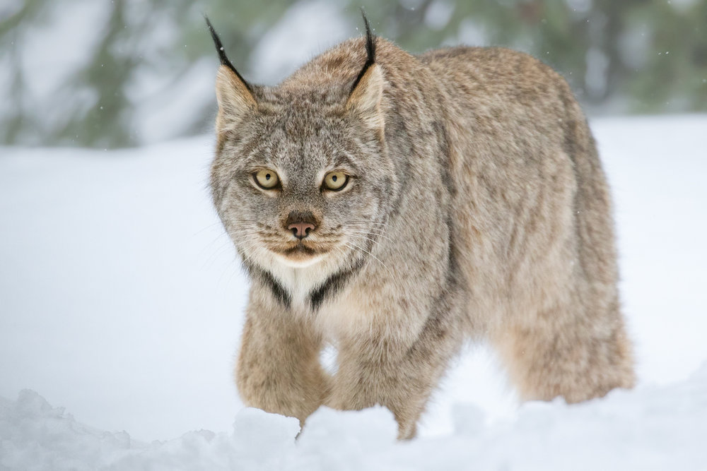 Canada Lynx, British Columbia, Canada