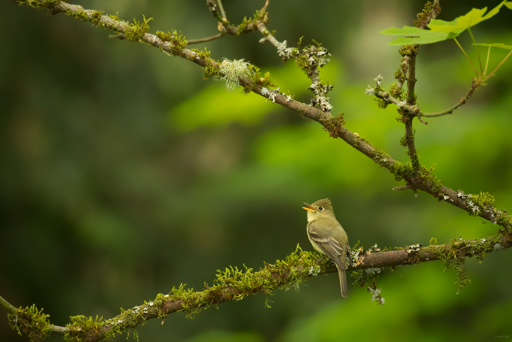 Pacific-slope Flycatcher, South Coast