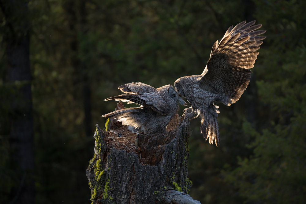 Great Grey Owl, Nicola Region