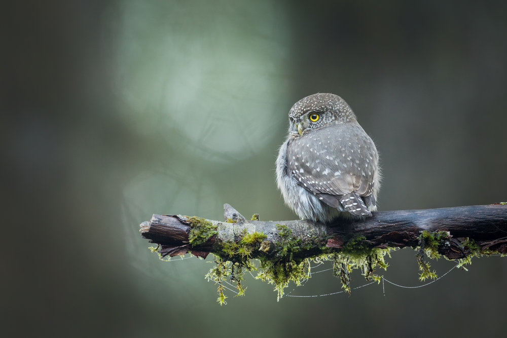 Northern Pygmy-Owl, Coast Mountains