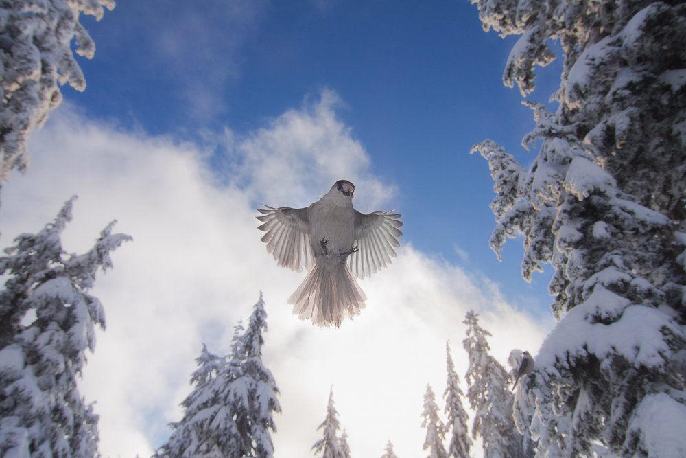 Grey Jay, North Shore Mountains