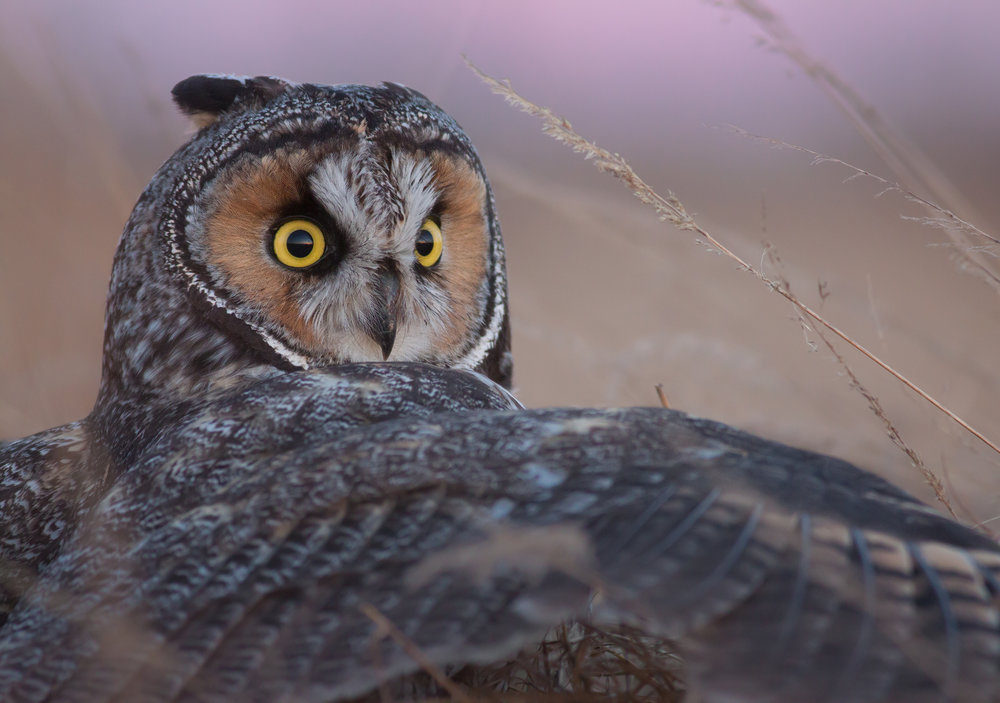 Long-eared Owl, British Columbia, Canada