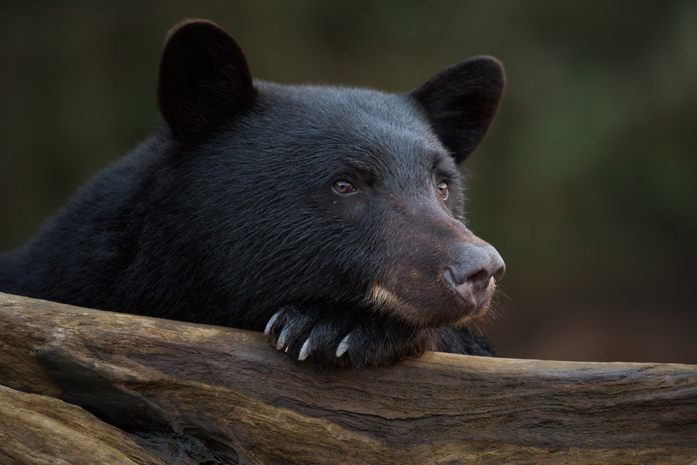 Black Bear, British Columbia, Canada