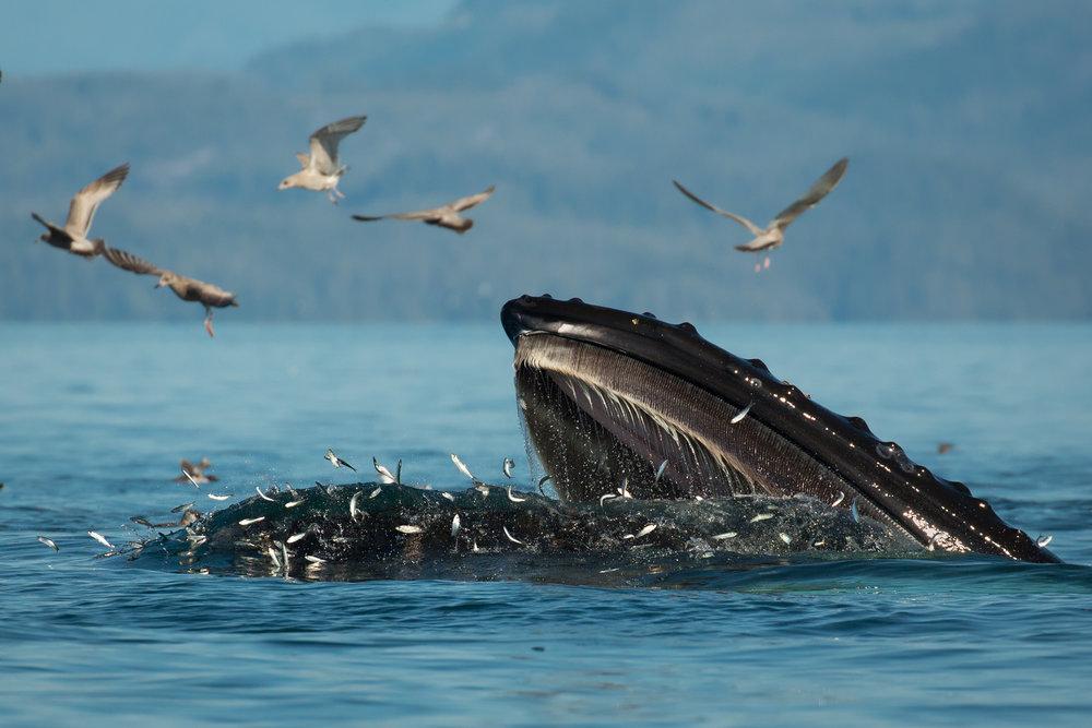 Humpback Whale, British Columbia, Canada