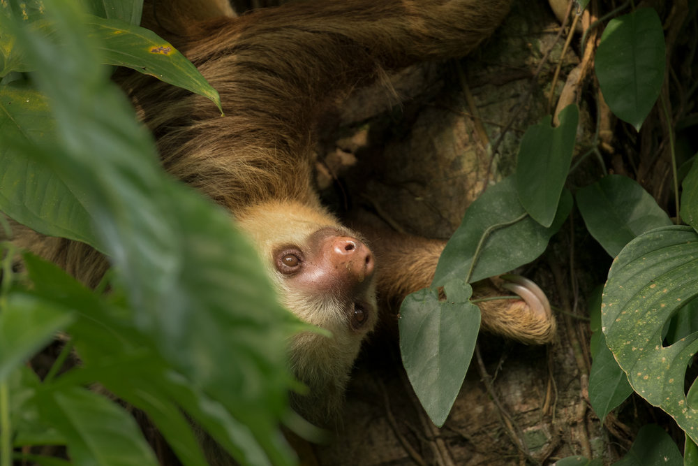 Hoffman's Two-toed Sloth, Costa Rica