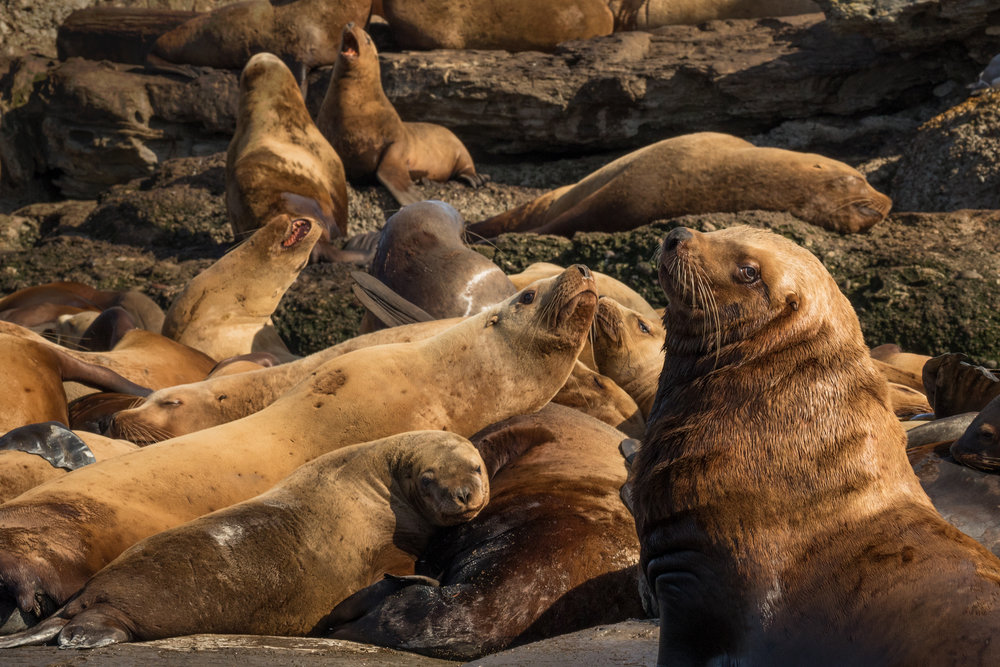 Steller Sea Lions, British Columbia, Canada