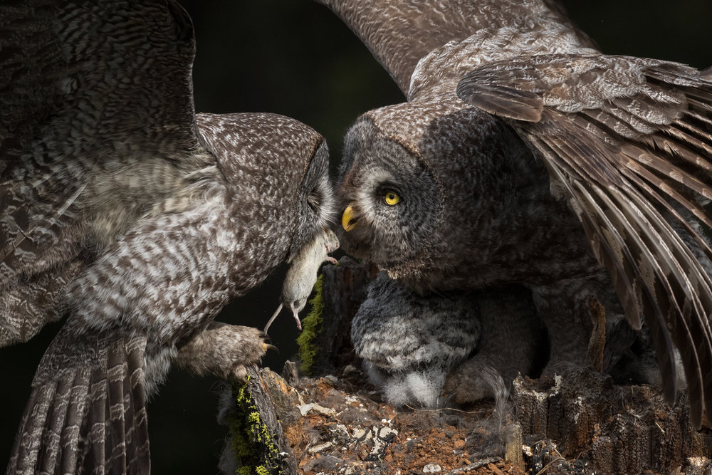 With three chicks tucked beneath her, a female Great Grey Owl receives a prey delivery from her mate; in this case, a Meadow Vole. This process takes all but a few seconds. Once the male deftly passes along his hard-earned meal, (always with his eyes closed) back out he goes to begin the hunt all over again.