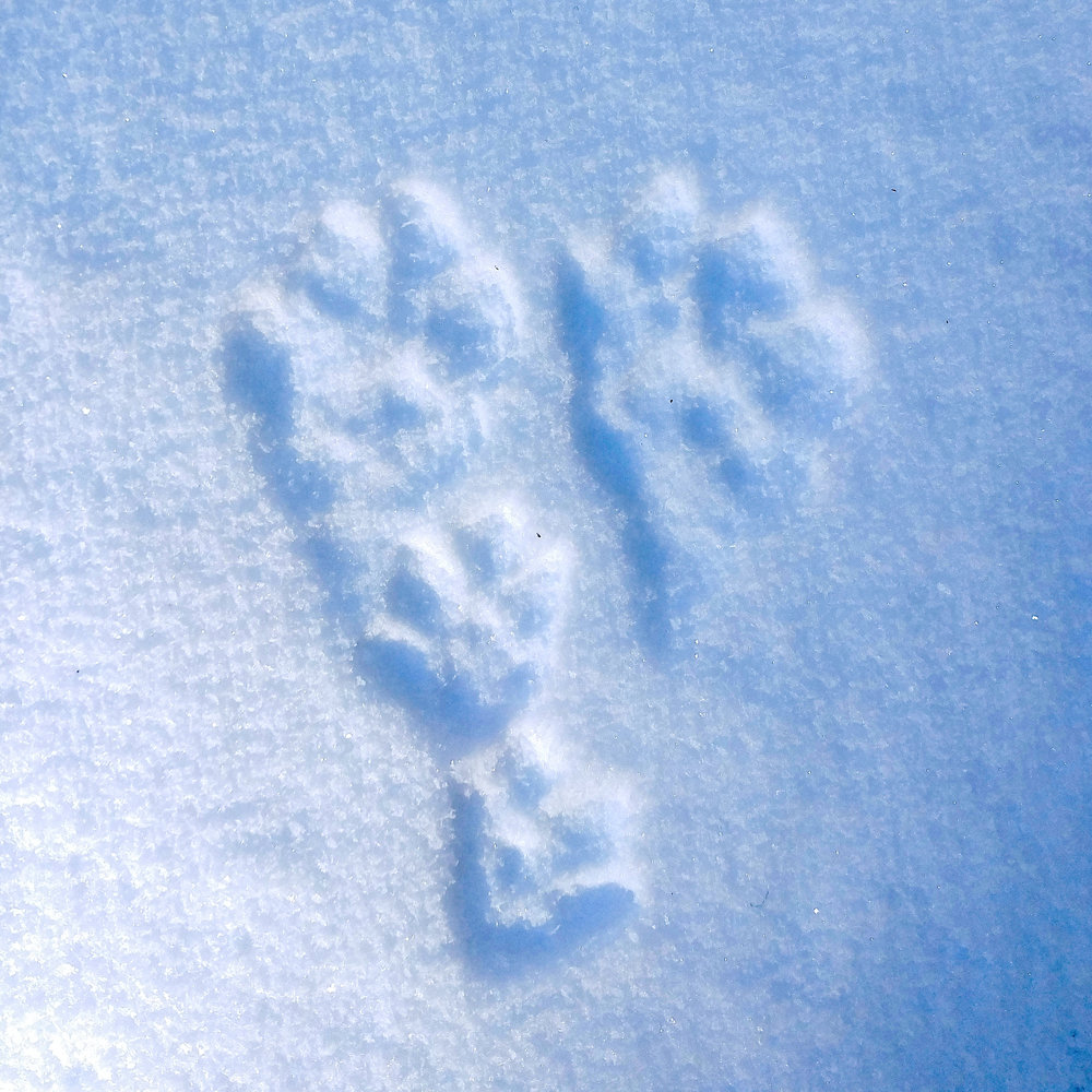 Snowshoe Hare tracks after a dusting of fresh snow in the Cascade Mountains of British Columbia.