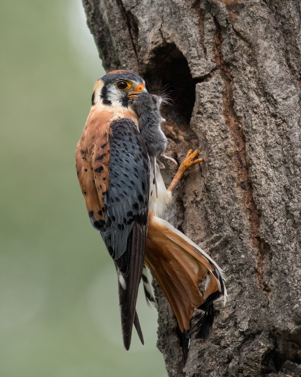 Without recognizing the soft calls of this American Kestrel as he communicated with his mate inside, I never would have found this photogenic nest cavity, otherwise hidden from view where I was walking.