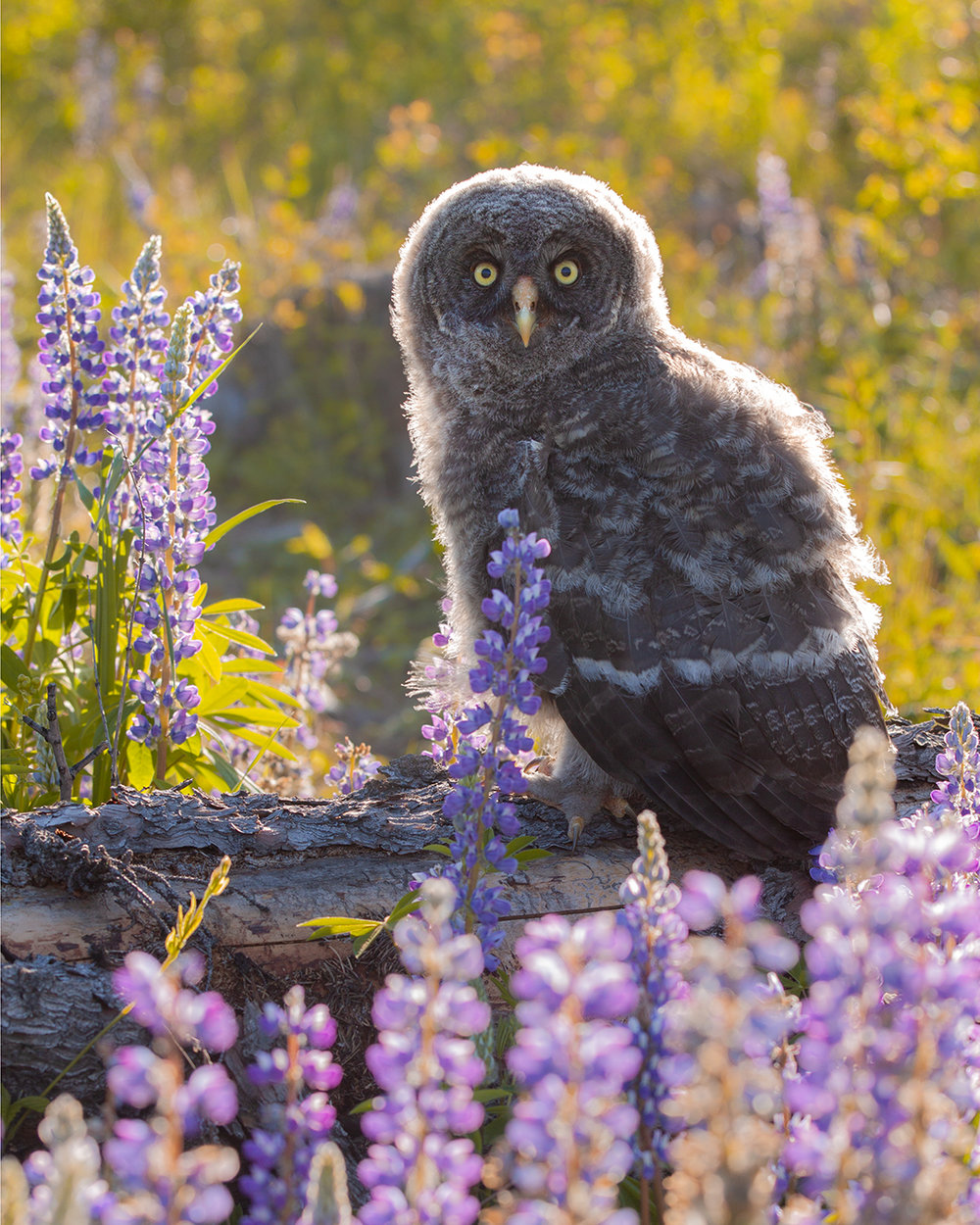 Hearing the begging calls of two Great Grey Owl nestlings from several hundred metres away led me to a beautiful site, resulting in several days of photography opportunities.