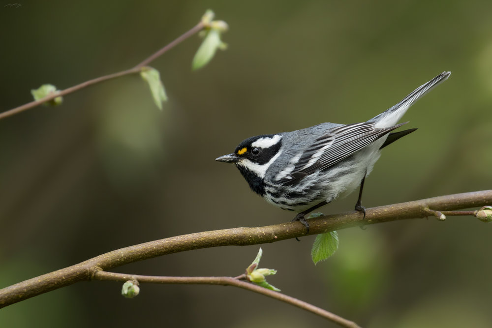 An understanding of the migratory timing of this Black-throated Grey Warbler ensured I was there within one or two days of his arrival. Birds tend to be more active in defending their territories and advertising to potential mates during a fairly brief window, early in the breeding season. The canopy of bigleaf maples had yet to close in, allowing for lots of light, and the fresh buds on this beaked hazelnut made for a photogenic perch.