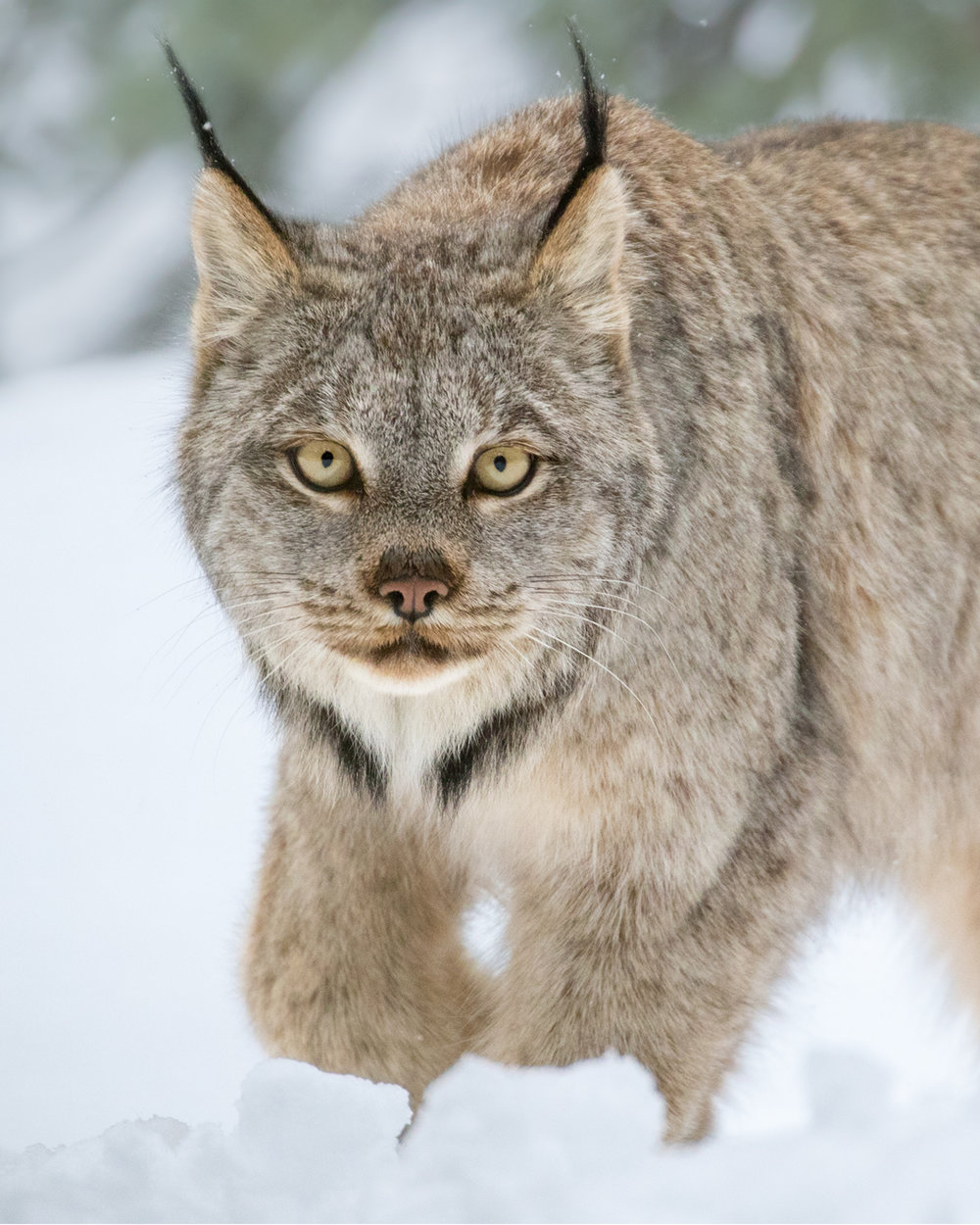 Finding the specific forest composition preferred by Snowshoe Hare (the winter diet staple of the Canada Lynx) was an essential step in experiencing this close encounter.