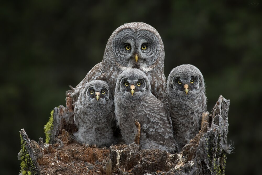 A Great Grey Owl family portrait taken in the mountains of British Columbia's Southern Interior.  I spent over a week photographing this family at their nest site, camouflaged in a tiny tree stand, 15 metres up a Douglas fir.